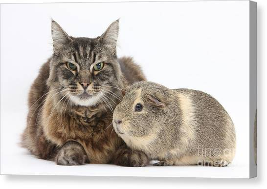 Manx Cats Canvas Print - Elderly Cat With A Guinea Pig by Mark Taylor