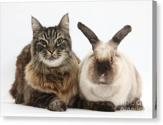Manx Cats Canvas Print - Elderly Cat With Colorpoint Rabbit by Mark Taylor