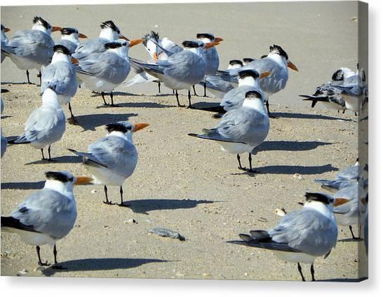 Elegant Terns Enjoying The Beach Canvas Print by Suzie Banks