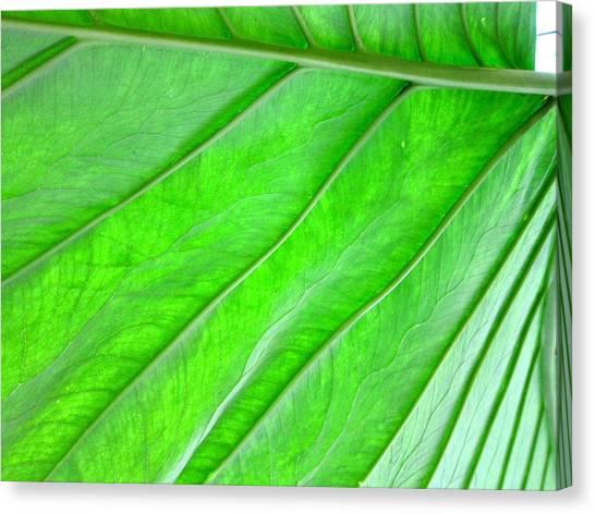 Elephant Ear Plant Leaf Canvas Print