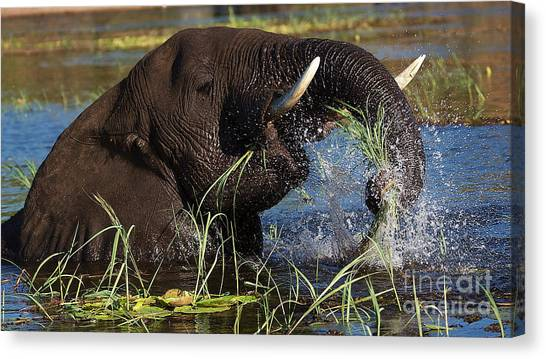 Elephant Eating Grass In Water Canvas Print