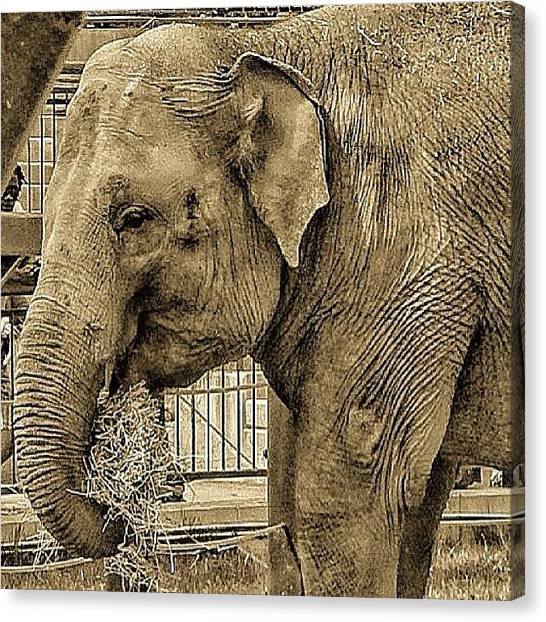 Largemouth Bass Canvas Print - Elephant by Natasha Taylor