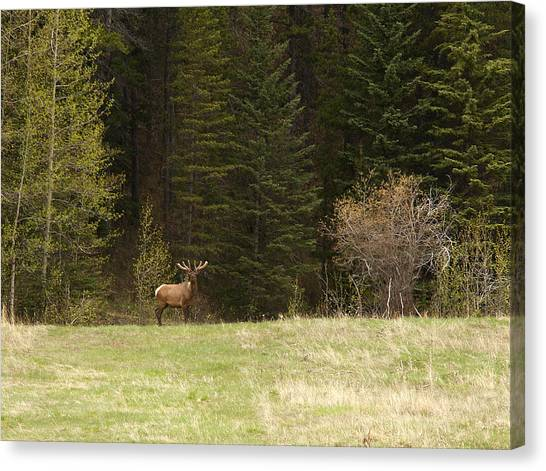 Elk Canvas Print by Larry Roberson