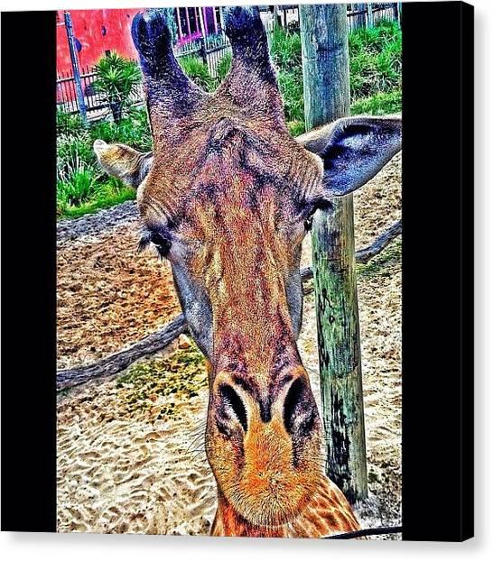 Giraffes Canvas Print - Ello by Matt Turner