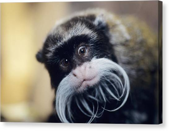 Emperor Tamarin Canvas Print by David Aubrey