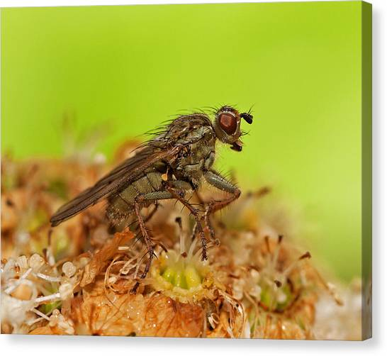 Empid Fly Canvas Print by Paul Scoullar