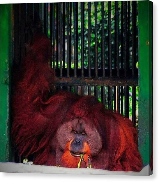 Orangutans Canvas Print - Endangered by Rahman Galela