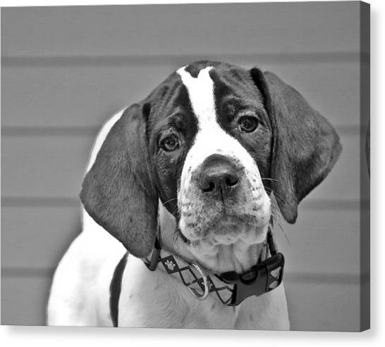 English Pointer Puppy Black And White Canvas Print