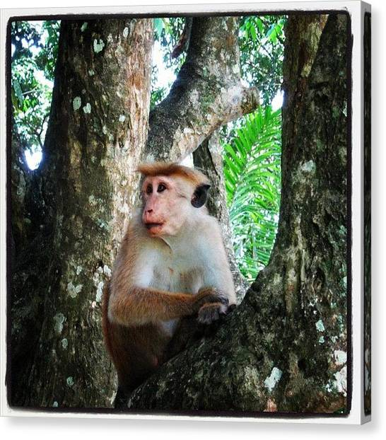 Primates Canvas Print - Enjoy The Nature... #popular by Mahid Abdulrahman