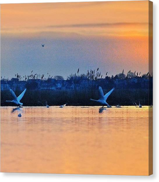 Swans Canvas Print - Entry For #gf_daily_speedwednesday_002 by Penni D'Aulerio