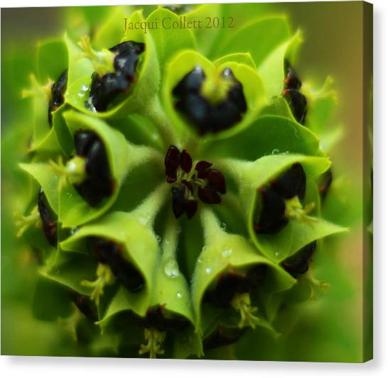 Euphorbia Canvas Print by Jacqui Collett