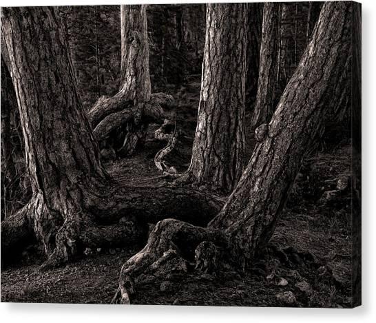Evening Pines Canvas Print