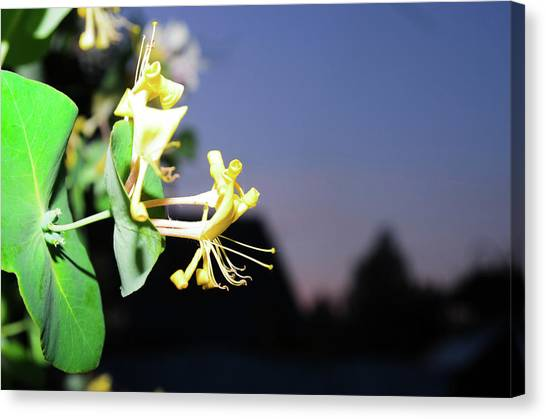 Evening Sonata. Perfoliata Canvas Print