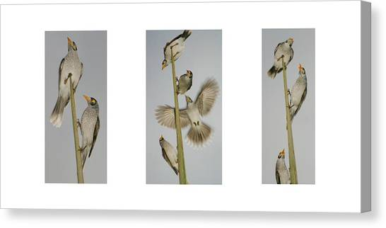 Evening Song Birds Trio Canvas Print