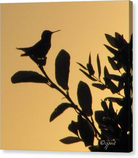 Hummingbirds Canvas Print - Evening Visitor. #noedit (except Crop) by Cynthia Post