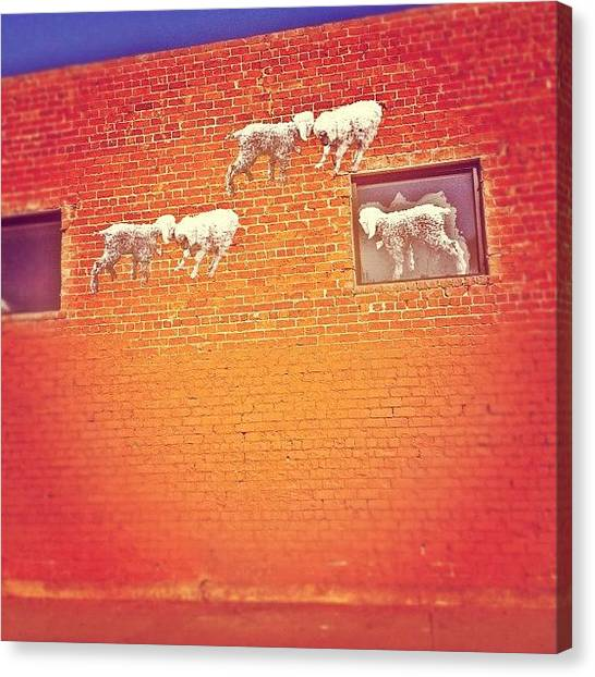 Sheep Canvas Print - Everyone Follow The Leader Like Good by CactusPete AZ