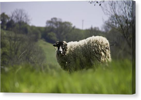 Ewe Canvas Print - Ewe Looking At Me by Nigel Jones