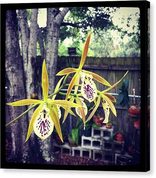 Baby Canvas Print - #exotic #orchid #exoticorchid by Amber Baby