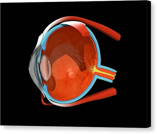 Eye Anatomy Canvas Print by Jose Antonio PeÑas