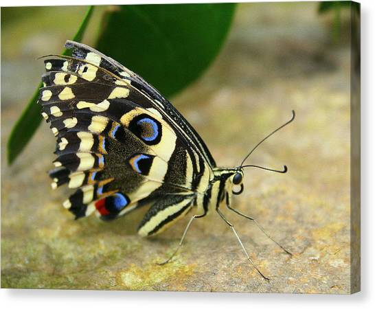 Eye To Eye With A Butterfly Canvas Print