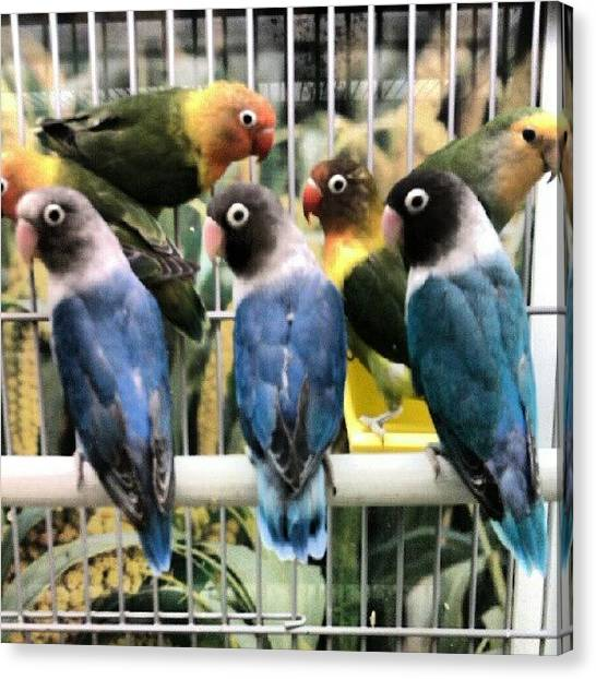 Lovebirds Canvas Print - #eyes #lovebirds #flock #birds #caged by Kevin Zoller