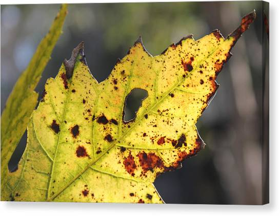 Canvas Print featuring the photograph Face Of A Leaf by Kelly Hazel