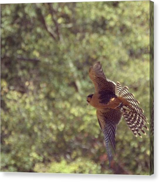 Falcons Canvas Print - Falcon #renaissancefest #falcon by Margie P