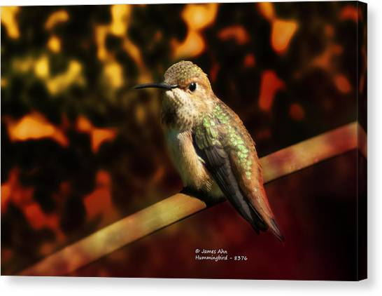 Fall Colors - Allens Hummingbird Canvas Print