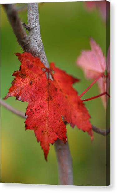 Fall Leaf Canvas Print by Brady D Hebert