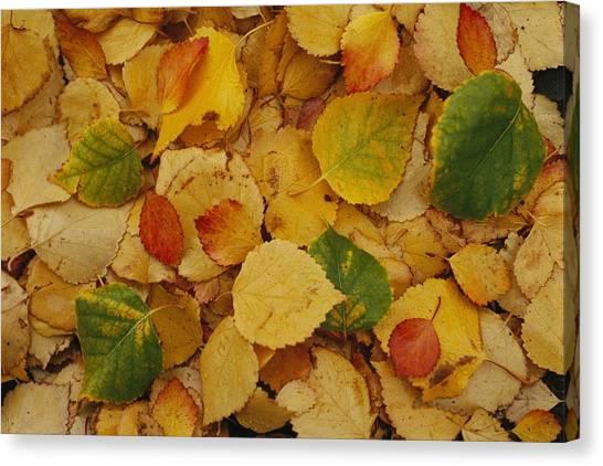 Northwest Territories Canvas Print - Fallen Autumn Leaves by Raymond Gehman