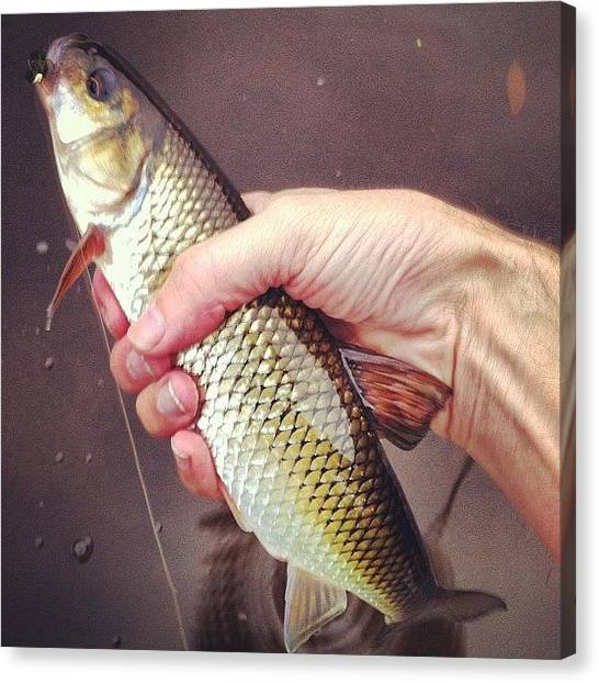 Fly Fishing Canvas Print - Fallfish by Dave M