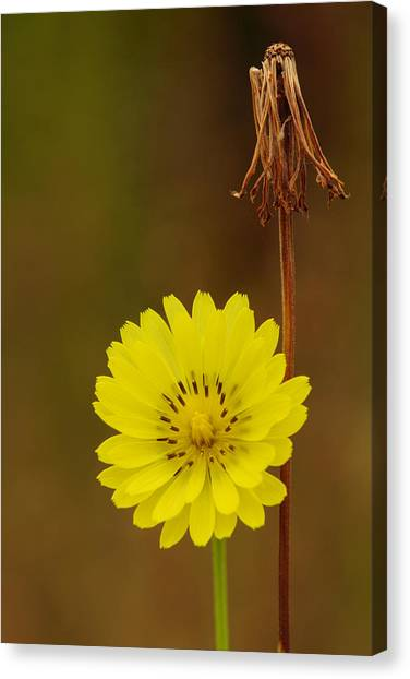 False Dandelion Flower With Wilted Fruit Canvas Print