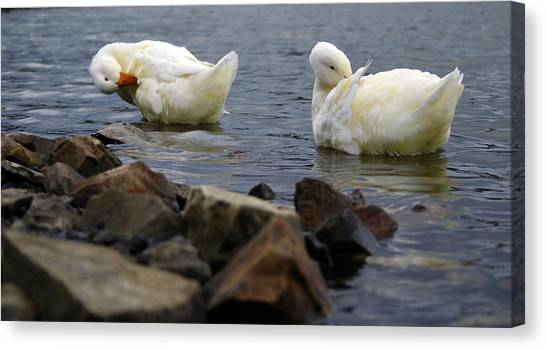 Fancy Feathers Canvas Print by Brian Stevens