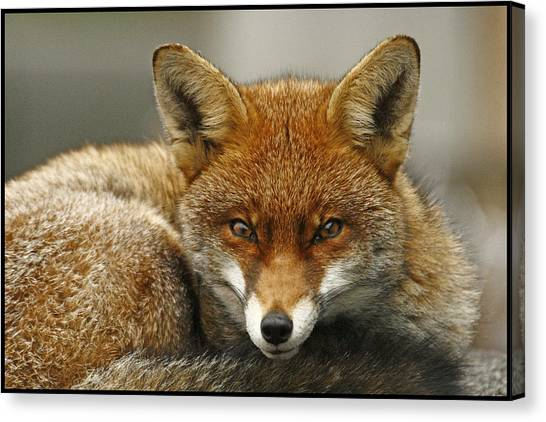 Fantastic Mr Fox Canvas Print by Jacqui Collett