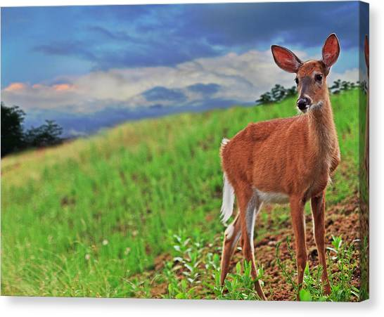 White-tailed Deer Canvas Print - Fawn by Everet Regal