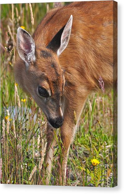 Fawn Meets Fly Canvas Print by Guy Kimola