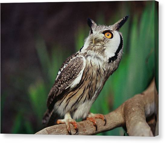 Fearful Owl Canvas Print by Miguel Capelo