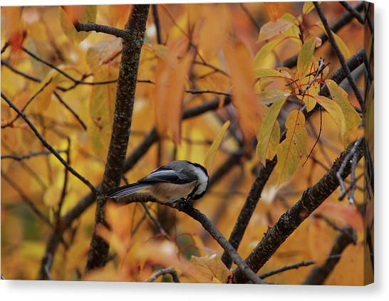 Feeding Chickadee Canvas Print