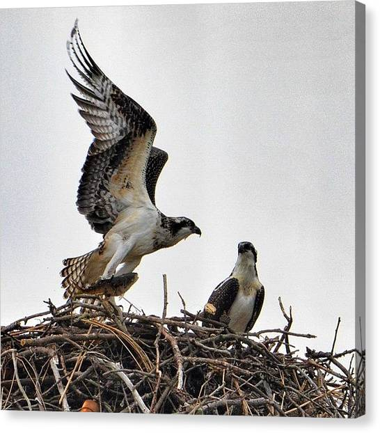 Osprey Canvas Print - Feeding Time For The Ospreys by Penni D'Aulerio