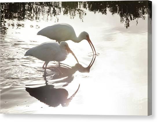 Ibis Canvas Print - Feeding White Ibis by Keith Kapple