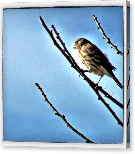 Finches Canvas Print - Female House Finch Catching The Morning by Cynthia Post