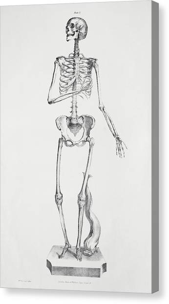 Female Skeleton Canvas Print by Sheila Terry