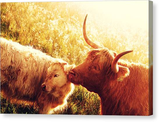 Fenella With Her Daughter. Highland Cows. Scotland Canvas Print