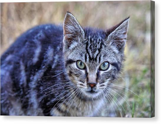 Feral Kitten Canvas Print
