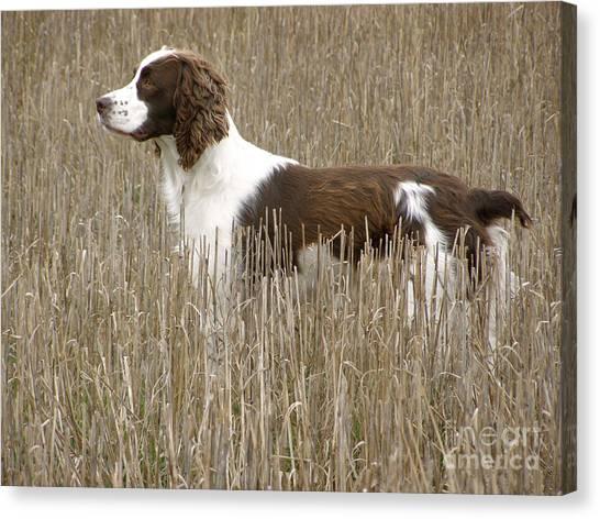 Field Bred Springer Spaniel Canvas Print