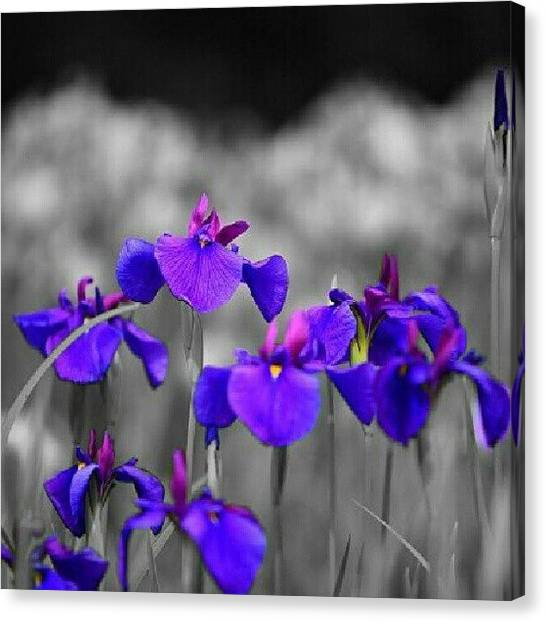 Irises Canvas Print - Field Of Iris. by Mandi Ward