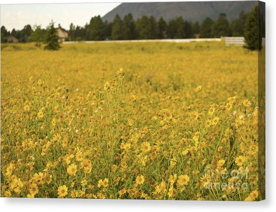 Field Of Yellow Daisy's Canvas Print