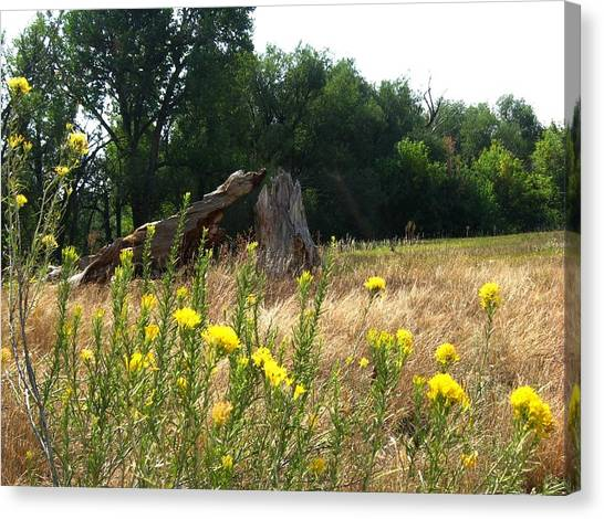 Field Of Yellow Sage In Lakewood Colorado Canvas Print by Gretchen Wrede
