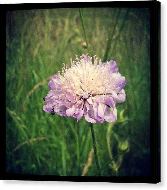 Social Canvas Print - Field Scabious Wild Flower by Vicki Field