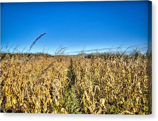 Fields Of Gold Canvas Print by Dan Crosby